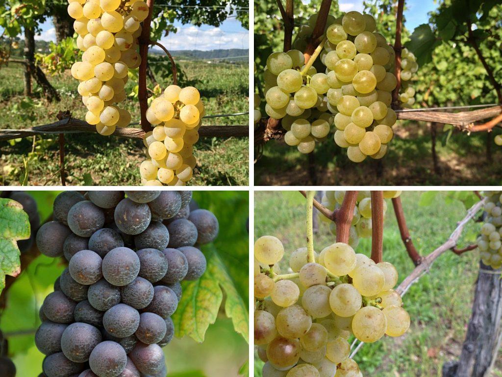 Differenti varietà di uva