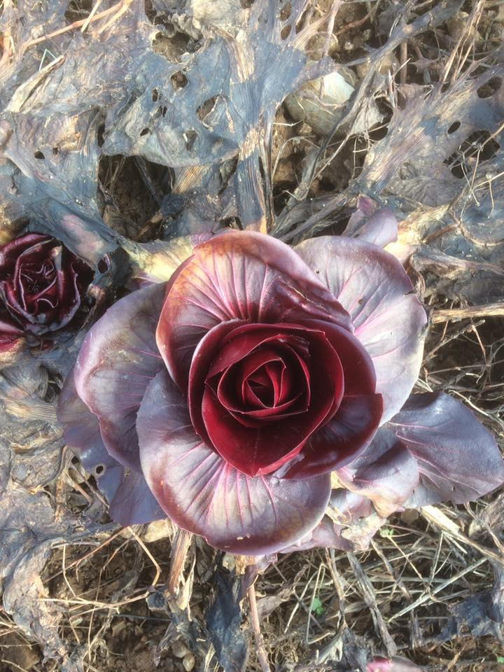 Rosa di Gorizia in campo